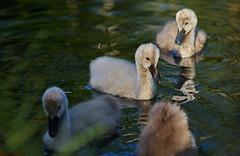 DSC00475_G+_1200 (bianka.spindler) Tags: park macro river germany deutschland spring swan sony mm fluss baden schwan 90 frhling schwne wrttemberg gmaster enz schwanenkken wurttemberg enzauenpark a7r