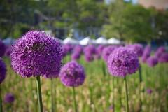 Alliums in Boston (RachelThomas424) Tags: flower boston canon outside eos spring purple depthoffield allium 1200d