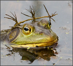 (c)WMH_2016_05_22_2319 King of the Toads (WesleyHowie) Tags: wildlife amphibians