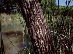 tree bark (EllenJo) Tags: pentax cottonwoodarizona 2016 june19 jailtrail 86326 ellenjo ellenjoroberts pentaxqs1