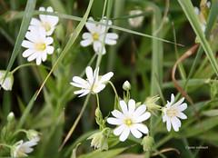 18-IMG_1884 (hemingwayfoto) Tags: blhen blte blume natur norddeutschland pflanze regionhannover steinhudermeer stellariaholostea sternmiere