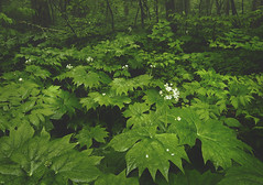 The Emerald Forest (R. Keith Clontz) Tags: forest blueridgemountains springtime grandfathermountain greenfoliage umbrellaleaf emeraldforest rkeithclontz bluieridgemountins