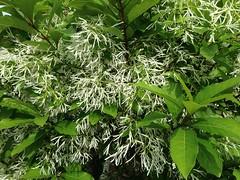 flowering shrub (ladybugdiscovery) Tags: white flower grafted