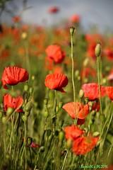 Les coquelicots dans les champs (Barnie76@ , en stand by a plus) Tags: flowers nature fleurs champs normandie eure coquelicots pavots canon60d