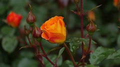 (blogspfastatt (+3.000.000 views)) Tags: orange flower nature rose nice pretty awesome pfastatt blogspfastatt