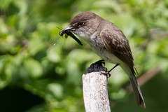 EasternPhoebe_53F5917 (~ Michaela Sagatova ~) Tags: easternphoebe flycatcher birdphotography michaelasagatova