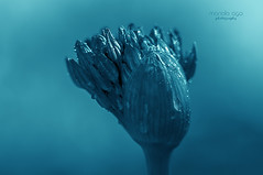 when u grow up (mariola aga) Tags: blue plant flower macro closeup garden dof tint gradient glencoe opening bud waterdrops chicagobotanicgarden firmament thegalaxy firmamentonion