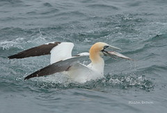 The Prize (alison brown 35) Tags: uk sea wild brown bird nature june canon lens yorkshire ngc cliffs east npc 7d alison northern 35 gannet 70200mm 2016 bempton wildlfe