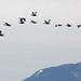 Magellan geese (Chloephaga picta) in flight, Patagonia, Chile