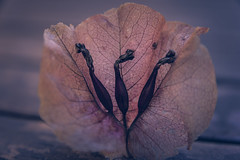 Buganvilla (Moises Caballero Lopez) Tags: naturaleza flower macro nature pentax flor sigma bougainvillea f40 k3 70mm buganvilla 1770mm pentaxart mcaballero sigma1770mm1284dcmacrohsmcontemporary