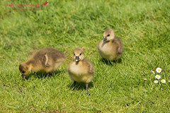 Greylag Goslings (Kelly Love's Photography) Tags: baby cute canon rebel geese spring babies fluffy goose goslings canonrebel essex canoneos greylag greylaggoose springwatch canonphotography 650d t4i hanningfieldreservoir eos6d canonef70200mmf4lusm canon6d essexphotographer canon650d canoneos650d rebelt4i kellylovesphotography