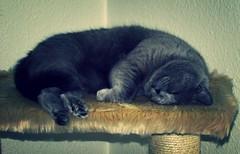 Moonie (evil king) Tags: cute cat paw furry kitten feline chat sweet pussy adorable kitty fluffy sleepy gato katze chill pussycat ktzchen cattree kratzbaum bsi