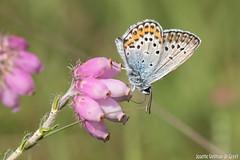 DN9A2841 (Josette Veltman) Tags: macro canon butterfly insect natuur bugs argus vlinder canon100mmmacro natuurmonumenten plebejusargus plebejus canon100mm28 macrofotografie heideblauwtjeheideblauwtjedopheide