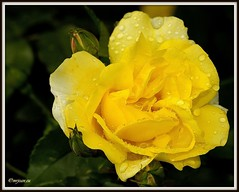 _JVA6878 (mrjean.eu) Tags: park pink flowers blue roses white france flower macro fleur rose yellow fleurs garden nikon jardin botanic lorraine botanique parc metz 105mmf28