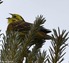 Calling Yellowhammer (Katy Wrathall) Tags: 2016 30dayswild england june nationalpark northyorkshire summer yellowhammer bird