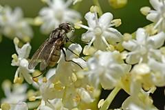 Blumengru auf fliegisch (DianaFE) Tags: makro blte spiegelung fliege wassertropfen hollunderblte hollunder