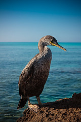 Young mediterranean shag (Oddiseis) Tags: formentera balearicislands spain beach sea mediterranean coast litoral rock water waves animal birds shag morning blue tamron175028 shoreline cormorant