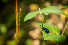 Cute little beetle (kos Fekete) Tags: life blue summer cute green nature beautiful yellow closeup insect shiny aqua bokeh earth sony beetle july evil insects alpha csc magyarorszg 2015 mtra ilce milc beautifulcapture mirrorless a6000 naturescomposition mbpictures emount selp1650 sonyalpha6000 ilce6000