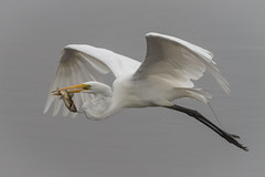 Out of the fog (tresed47) Tags: 2016 201606jun 20160627bombayhookbirds birds bombayhook canon7d content delaware egret folder greategret peterscamera petersphotos places takenby us ngc npc