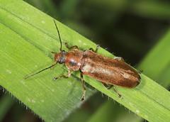 False Darkling Beetle - Osphya bipunctata (Prank F) Tags: macro nature closeup insect wildlife beetle false wildlifetrust darkling glapthorncowpastures northantsuk osphyabipunctata