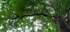 rbol (Esteban 507) Tags: greenleaves naturaleza tree verde green nature leaves forest hojas arbol naturelover hojasverdes