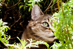 Maggie amid the new plants (Steve-h) Tags: camera flowers ireland summer dublin naturaleza macro eye nature digital canon garden dark lens eos europe exposure sitting place natural tabby natur pussy july eu natura hide hiding ef beeline 2016 steveh