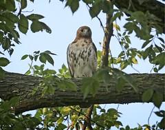 Dora (Goggla) Tags: nyc new york manhattan east village tompkins square park urban wildlife bird raptor red tail hawk adult female dora goglog