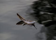 (hmxhm) Tags: newzealand reflection nature feather olympus wellington aotearoa zealandia