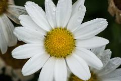 Daisy (Seth J Dewey Photo) Tags: newhampshire nashua flickrphotowalk