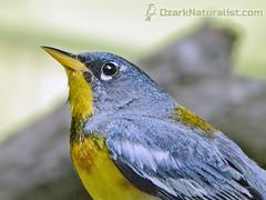 Northern Parula (An Ozark Naturalist) Tags: northernparula setophagaamericana warbler woodwarbler bird birds jacksforkriver ozarkriverways ozarknationalscenicriverways