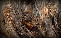 the takedown (dustaway) Tags: arthropoda arachnida araneae araneomorphae salticidae euophryinae genus jumpingspiders spiderwithprey bark tullerapark tullera northernrivers nsw nature australia australianspiders