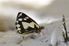 Delias antara solana (Hiro Takenouchi) Tags: delias papua pieridae butterflies butterfly schmetterling insect wild wildlife indonesia