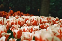 000023 (seustace2003) Tags: keukenhof nederland niederlande holland pays bas paesi bassi an sitr tulip tulp tulipan tiilip tulipa