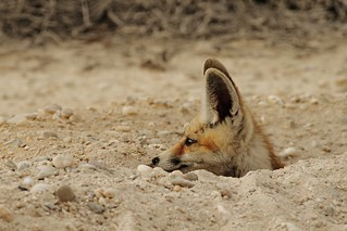 Trenched Fox