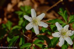 Buschwindrschen (Anemone nemorosa) (Reinhold.Lotz) Tags: deutschland hessen natur pflanzen coth kirtorf coth5 buschwindrschenanemonenemorosa
