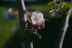 Apfel (陈霆, Ting Chen, Wing) Tags: apple blüte apfel 苹果 malusdomestica apfelblume
