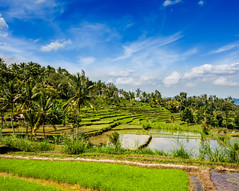 Discover Bali (balitourismboard) Tags: summer bali food mountain tree green field rural indonesia landscape asian asia skies rice gardening farm traditional nobody landmark scene fresh palm east crop plantation tropical agriculture indonesian scenics freshness balinese harvesting terraced cultivated