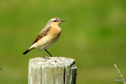 Wheatear - alongside River Caen, Wrafton