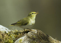 Wood Warbler (J J McHale) Tags: bird scotland warbler birdwatcher woodwarbler
