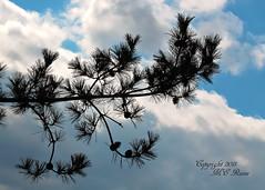 Early Spring Signs, Even When Looking Straight Up at Duke Farms of Hillsborough NJ (takegoro) Tags: blue sky tree nature pine clouds sanctuary naturepreserve cones dukefarms nj hillsborough