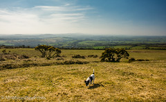 Nibbler on the Moors, Dartmoor (Mr Whites Paw Prints) Tags: dog landscape devon jackrussell dartmoor nibbler