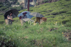 Tea Picking- Darjeeling (cwilson_0) Tags: india colour canon tea darjeeling teapicking