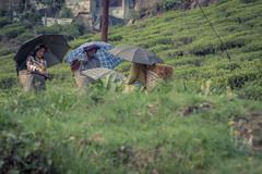 Tea Picking- Darjeeling (cwilson_0) Tags: india colour canon tea darjeeling teapicking