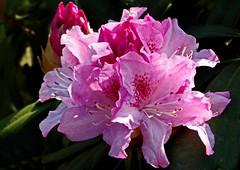 Rhododendron ... (Kindergartenkinder) Tags: rhododendron kindergartenkinder