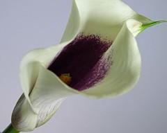 Lily v.1 (linda.addis) Tags: grace graceful odc