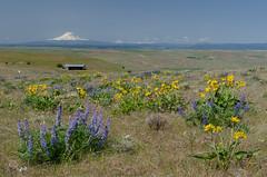 Dalles Mt View-6754 (NWPaddler) Tags: flowers oregon spring nikon gorge wildflowers columbiarivergorge 2015 d7000
