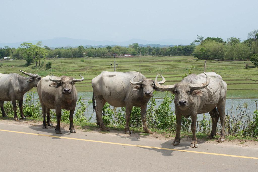 Buffalos en masse