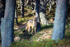 Zorro Culpeo (AmigoDeLoAjeno) Tags: patagonia fox torresdelpaine zorro culpeo