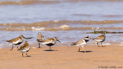 odd one out (blackfox wildlife and nature imaging) Tags: wales canon waders dunlin ringedplover deeestuary 80d talacrebeach sigma150600mmossport
