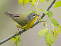 Nashville Warbler (Thomas Muir) Tags: ohio spring lakeerie feeding migration oakharbor lucascounty tommuir oreothlypisruficapilla